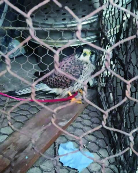 院里飞来一只红隼 系国家二级保护动物
