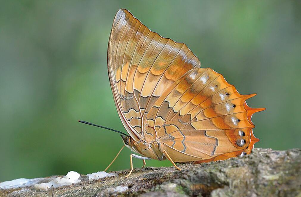 白带螯蛱蝶幼虫现身连云港 专家介绍,白带螯蛱蝶是气候变暖的标志蝶