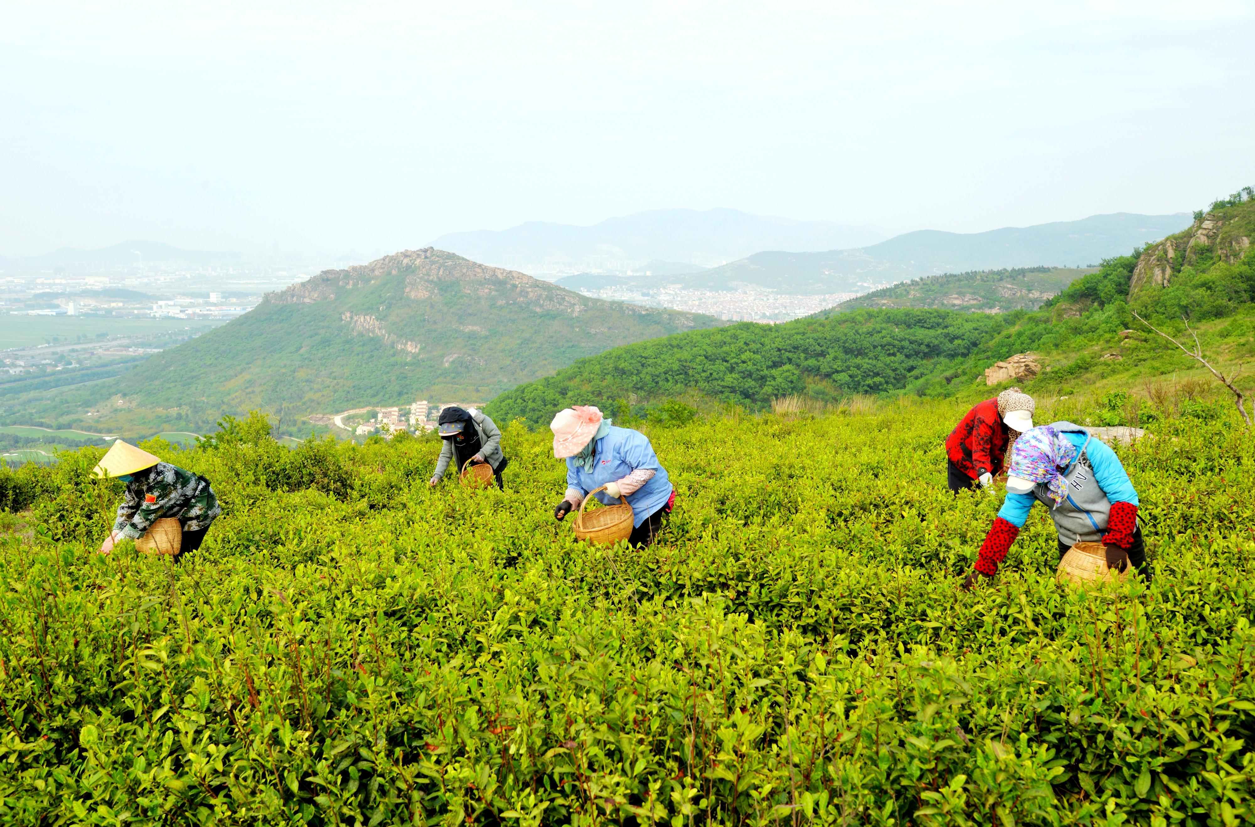 花果山街道千亩茶园迎来采摘期