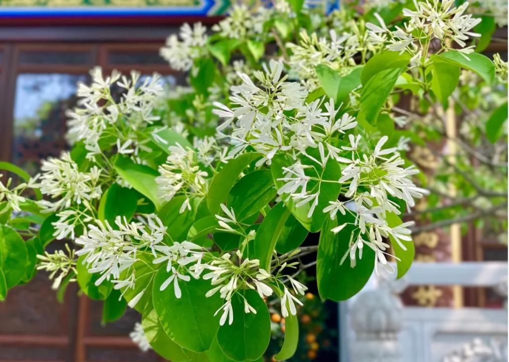 花期仅十天!连云港八百岁古树开花了!